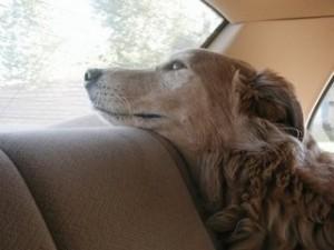 dog-in-car-300x225